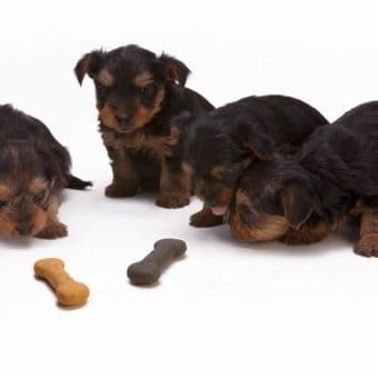 Yorkie Puppies with Dog Treats