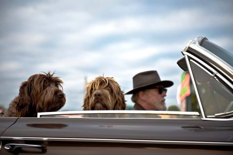 Dogs Staying Cool in a Convertible